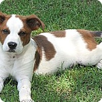 Adopt A Pet :: *Bobby Brady - PENDING - Westport, CT