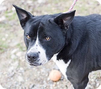Staffordshire Bull Terrier Mix Dog for adoption in Hot Springs, Arkansas - Juno