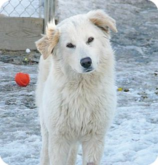 Great Pyrenees/Golden Retriever Mix Dog for adoption in Liberty Center, Ohio - Summer