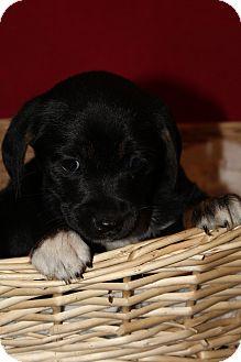 Terrier (Unknown Type, Medium) Mix Puppy for adoption in Waldorf, Maryland - Venus