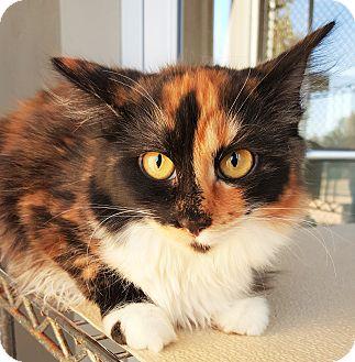 Domestic Mediumhair Kitten for adoption in Fredericksburg, Texas - Gypsy