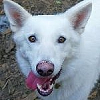 Siberian Husky/Shepherd (Unknown Type) Mix Dog for adoption in Pt. Richmond, California - BOSWORTH