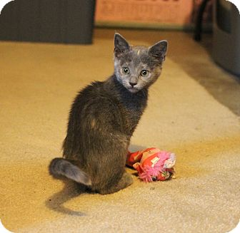 Domestic Shorthair Kitten for adoption in Carlisle, Pennsylvania - Willow