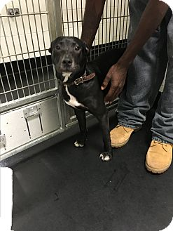 Staffordshire Bull Terrier/Labrador Retriever Mix Puppy for adoption in Barnwell, South Carolina - Dixie