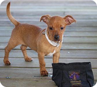 Dachshund Mix Puppy for adoption in Pinehurst, North Carolina - Lucy