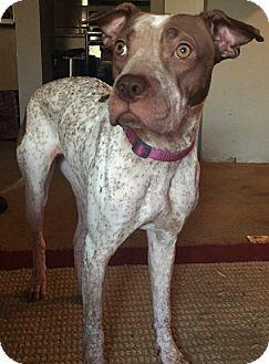 German Shorthaired Pointer/Shar Pei Mix Dog for adoption in Phoenix, Arizona - Dreamer