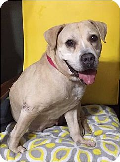 Beagle/Labrador Retriever Mix Dog for adoption in Boiling Springs, Pennsylvania - Flicker