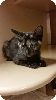 Domestic Shorthair Kitten for adoption in Plymouth Meeting, Pennsylvania - Tivkah