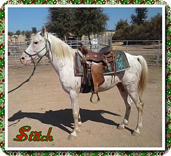 Appaloosa/Quarterhorse Mix for adoption in Sac, California - Stitch