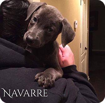 Labrador Retriever/Doberman Pinscher Mix Puppy for adoption in DeForest, Wisconsin - Navarre