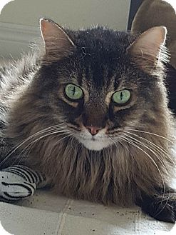 Domestic Longhair Cat for adoption in THORNHILL, Ontario - Romeo