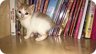 Domestic Shorthair Kitten for adoption in Monroe, North Carolina - Creamsicle