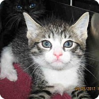 Adopt A Pet :: WHISKERS - Lathrop, CA