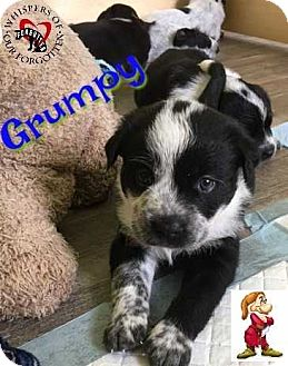 Australian Cattle Dog/Wirehaired Fox Terrier Mix Puppy for adoption in South Mills, North Carolina - Grumpy