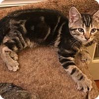 Domestic Shorthair Kitten for adoption in Centreville, Virginia - tippy