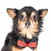 Adopt A Pet :: Goku - St. Louis Park, MN