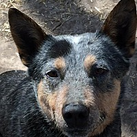 Adopt A Pet :: ACD Fur Elise is Back - Remus, MI