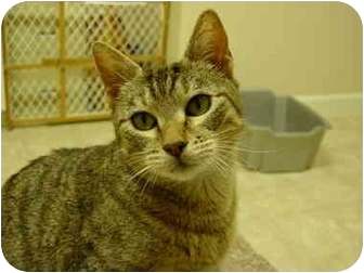 Domestic Shorthair Cat for adoption in Woodland, Washington - Val - she otta be in pictures!