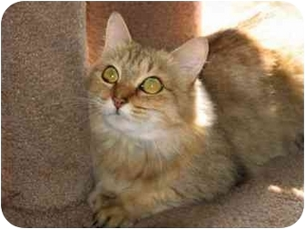 Domestic Longhair Cat for adoption in Medway, Massachusetts - Liza