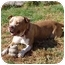 Photo 1 - American Pit Bull Terrier Mix Dog for adoption in West Los Angeles, California - Buford