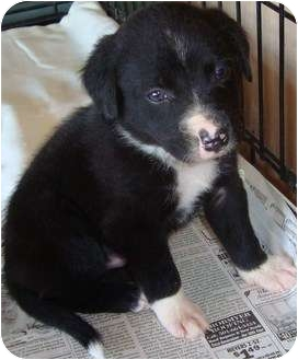 Labrador Retriever Mix Puppy for adoption in Arkadelphia, Arkansas - Gus