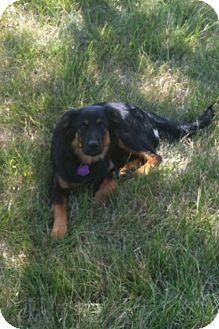 Australian Shepherd/Labrador Retriever Mix Puppy for adoption in Cincinnati, Ohio - Lexi