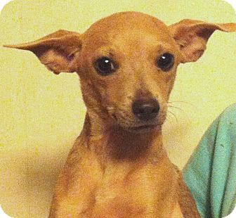 Chihuahua Puppy for adoption in Orlando, Florida - LC