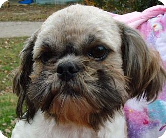 Shih Tzu Mix Dog for adoption in Plainfield, Connecticut - CORKY