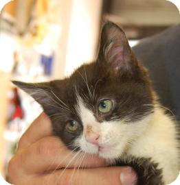 Domestic Shorthair Kitten for adoption in Brooklyn, New York - Izzy