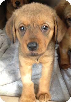Australian Shepherd/Spaniel (Unknown Type) Mix Puppy for adoption in Gainesville, Florida - Ellie
