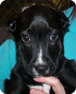 Boxer Mix Puppy for adoption in Grants Pass, Oregon - Cinnamon