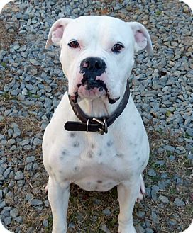 Boxer Mix Dog for adoption in Fayetteville, North Carolina - Otis