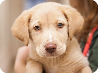 Labrador Retriever Mix Puppy for adoption in Dallas, Texas - Dyson