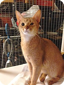 Abyssinian Cat for adoption in Davis, California - Rosie