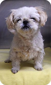 Pekingese Mix Dog for adoption in Dublin, California - Kate