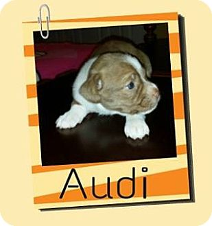 Cairn Terrier Mix Puppy for adoption in Houston, Texas - Audi