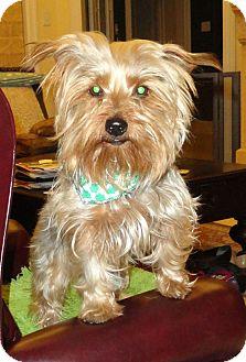 Yorkie, Yorkshire Terrier/Silky Terrier Mix Dog for adoption in Plano, Texas - MURPHY - IRISH SWEETNESS