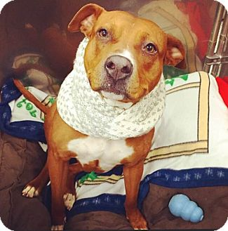 Rhodesian Ridgeback/Pit Bull Terrier Mix Dog for adoption in Oak Park, Illinois - Ginger