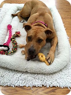 Boxer/American Staffordshire Terrier Mix Dog for adoption in Virginia Beach, Virginia - Brownie