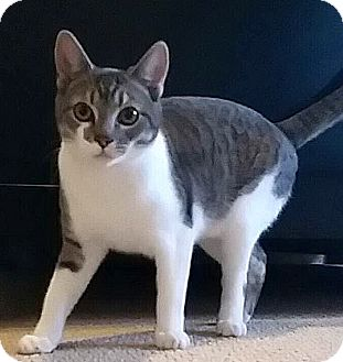 Domestic Shorthair Cat for adoption in Palmdale, California - Amelia