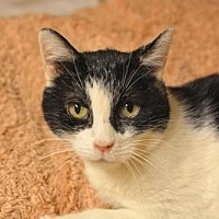 Domestic Shorthair Cat for adoption in Queens, New York - Rosie
