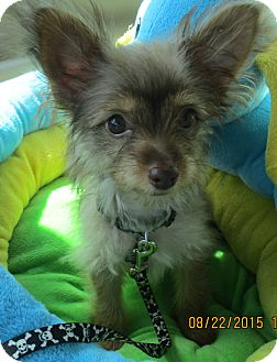 Chihuahua/Dachshund Mix Puppy for adoption in Jacksonville, Florida - Gremlin