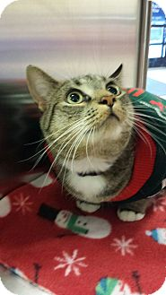 Domestic Shorthair Cat for adoption in Media, Pennsylvania - Carter (Christmas Special)