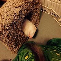 Adopt A Pet :: Madu AKA Honey - Navarre, FL