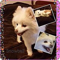 Adopt A Pet :: Snowball - San Antonio, TX