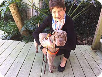 Shar Pei Dog for adoption in Gainesville, Florida - Gunnar