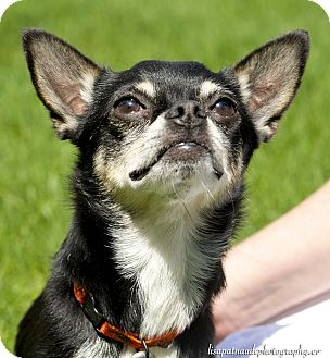 Chihuahua Dog for adoption in Worcester, Massachusetts - Bones
