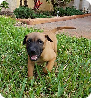 Labrador Retriever Mix Puppy for adoption in Davie, Florida - Damia