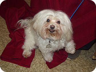 Maltese Dog for adoption in Marshall, Texas - Max