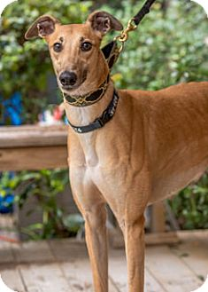 Greyhound Dog for adoption in Walnut Creek, California - Falcon